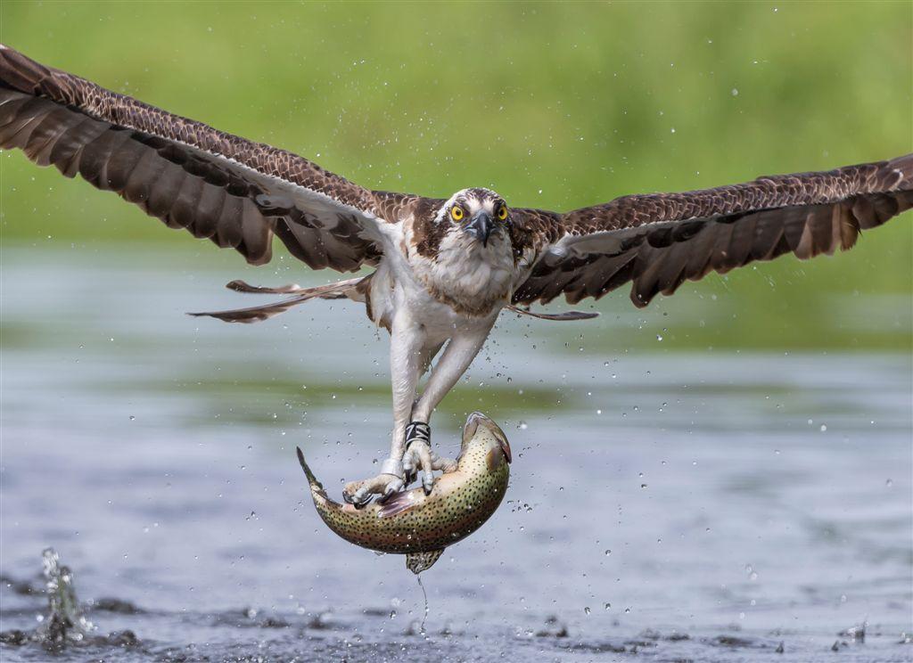 Balbuzard pêcheur. Photo : GORNA