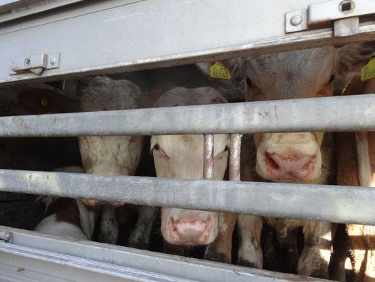 Extrait de l'enquête vidéo de l'association CIWF sur le transport d'animaux vivants vers la Turquie. CIWF