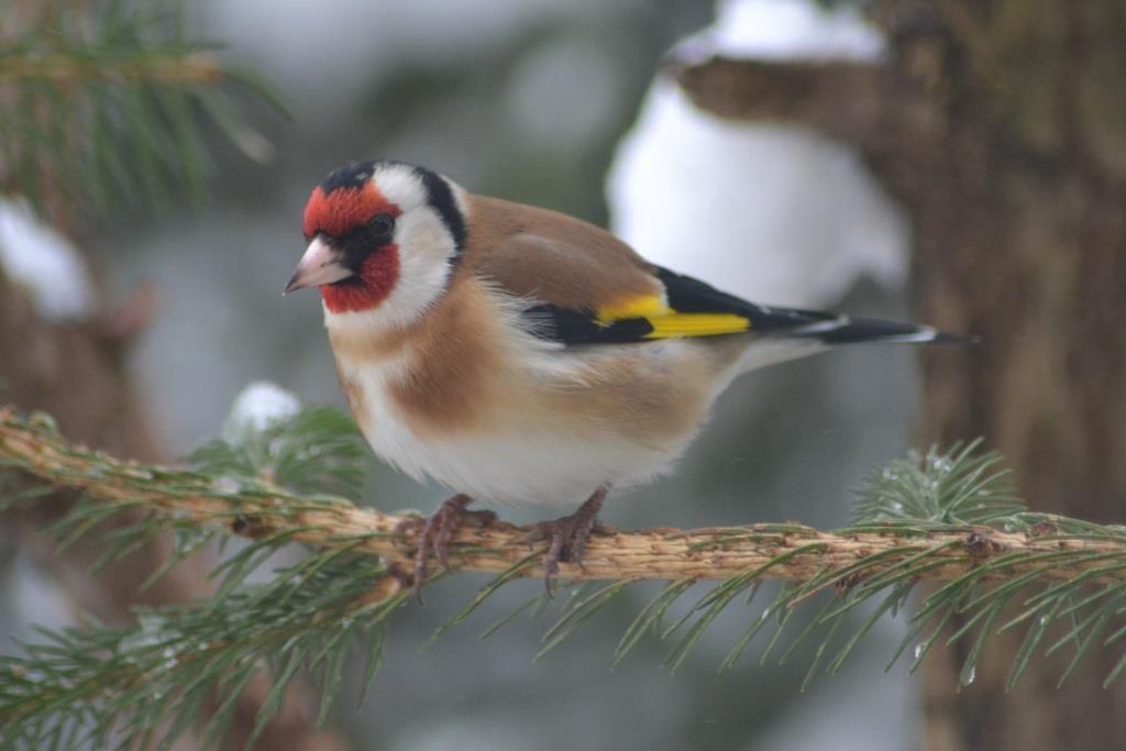 Oiseaux en d le braconnage d oiseaux s 233 vit en 206 le for Oiseaux de france