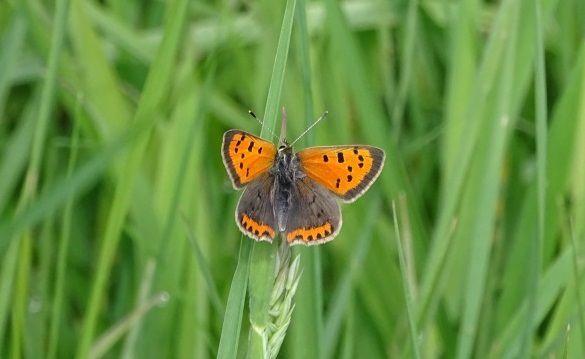 Cuivré commun ou Bronzé (Lycaena phlaeas). Photo : Jean-Louis Schmitt