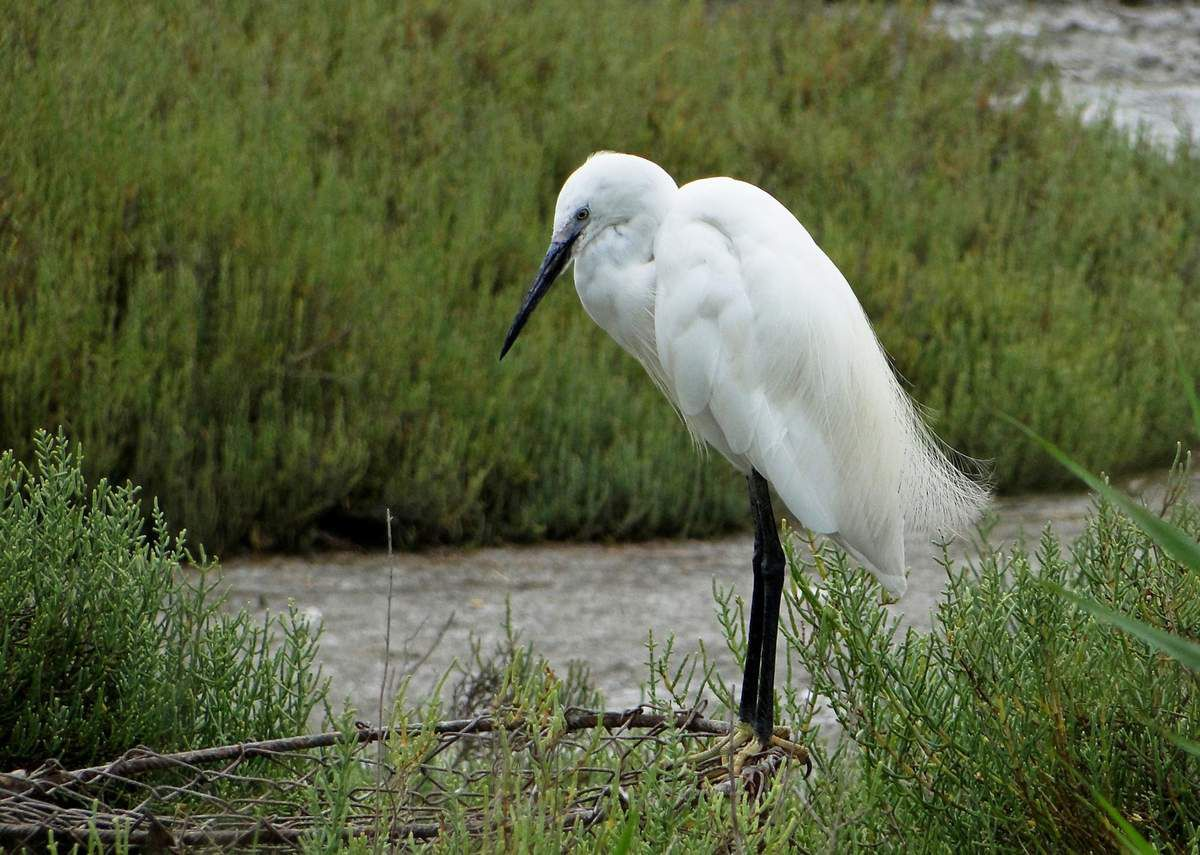 Grande Aigrette (Ardea alba). Photo : René Michaud