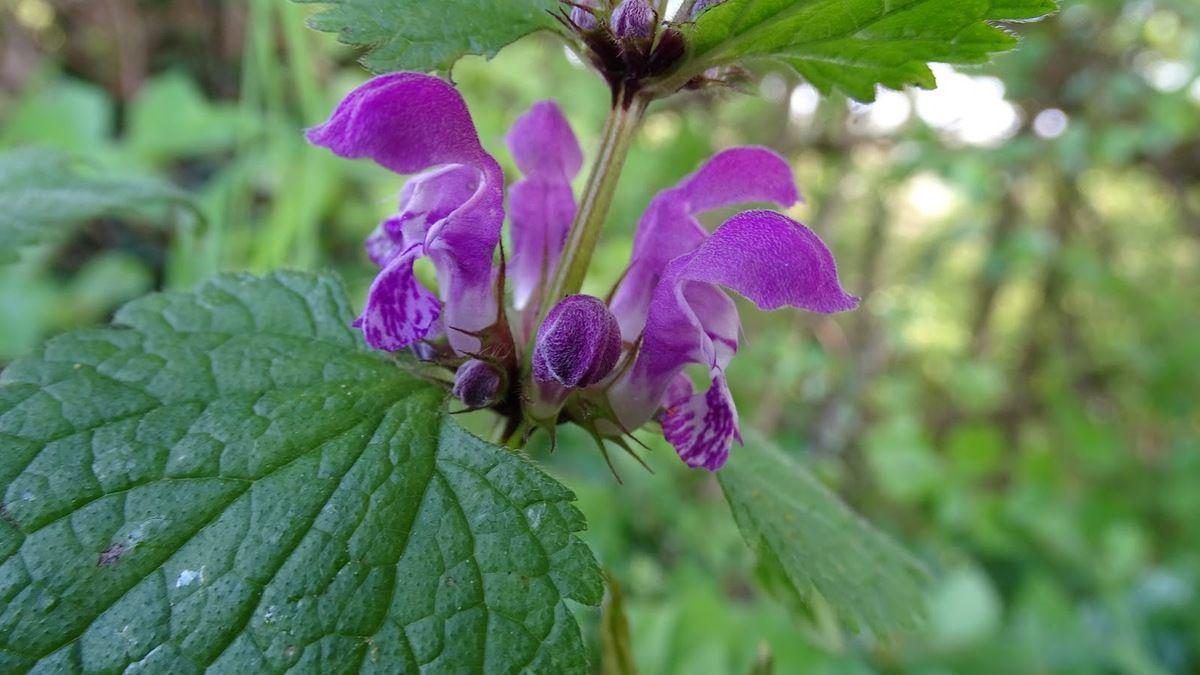 Lamier pourpre ou ortie rouge (Lamium purpureum). Photo : JLS