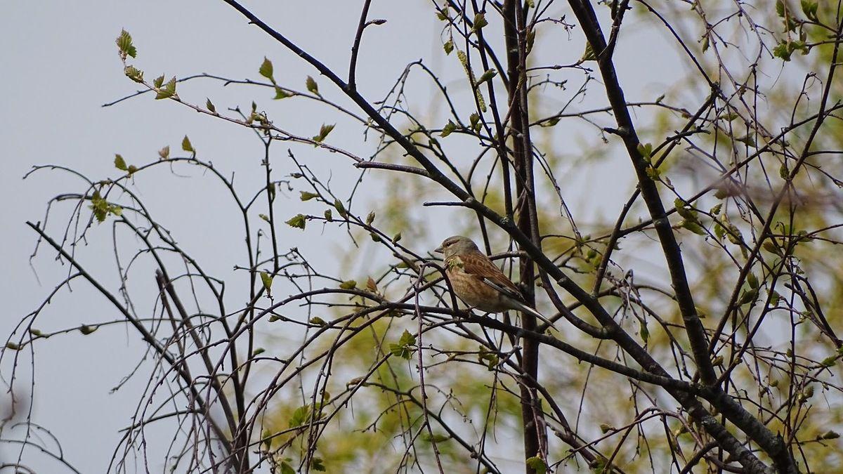 Dans mon jardin, il y a… la Linotte mélodieuse (Linaria cannabina). Photo : JLS (Cliquez pour agrandir)