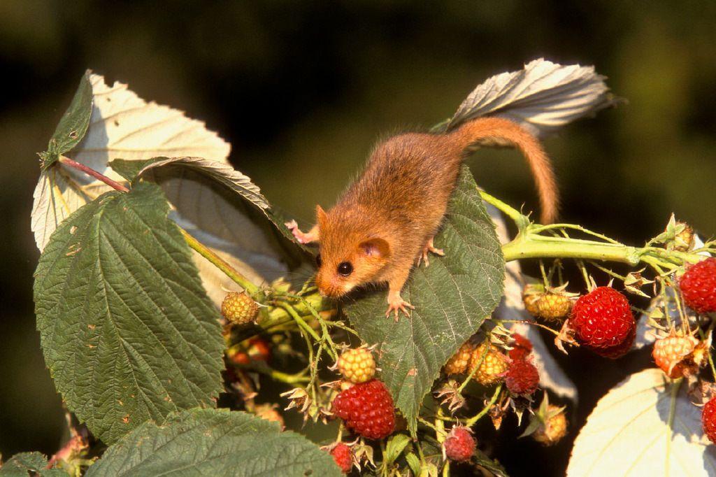 Le muscardin à la taille d'une souris aux formes arrondies et de couleur jaune-orangé qui devient blanc-jaunâtre sur le ventre. Photo : © Sylvain Cordier (Cliquez pour agrandir)