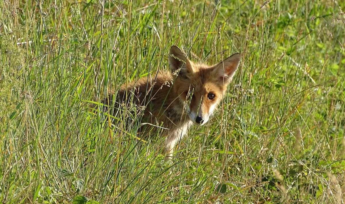 Non, le renard n'est pas un nuisible, et celui-ci n'est pas si nocturne qu'on ne le croit. Démontons les fausses idées sur ce mammifère. Photo : JLS (Cliquer pour agrandir)