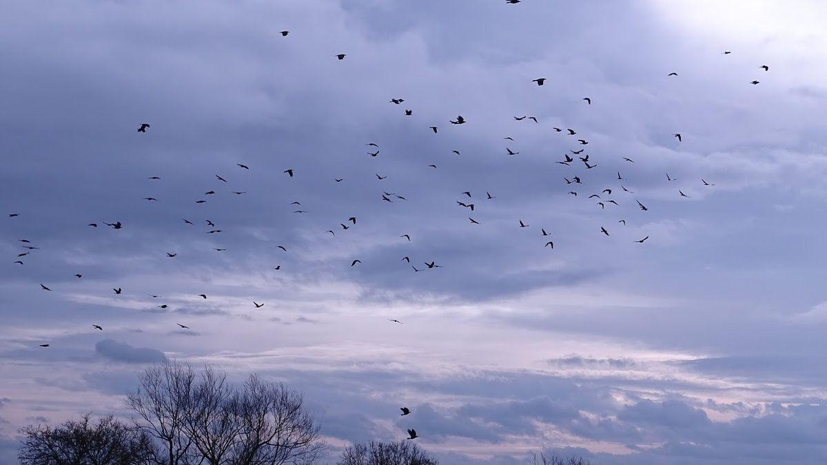 Vol de corbeaux freux : ce sont de merveilleux acrobates. Photo : JLS (Cliquez pour agrandir)