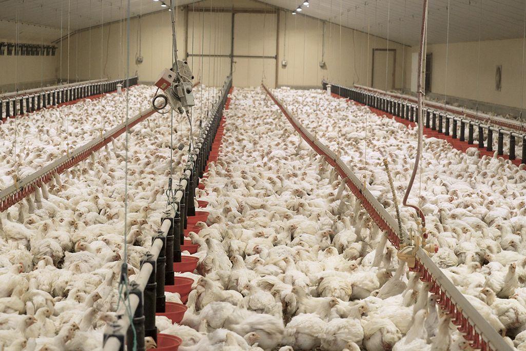 Une vie de poulet… Photo : L214 (Cliquez pour agrandir)