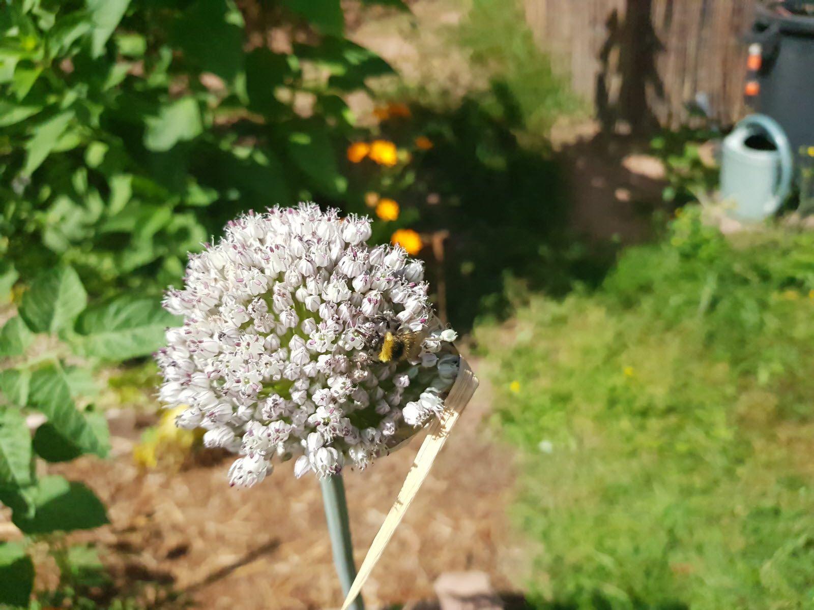 08-Les insectes semblent apprécier la diversité des plantes et fleurs du jardin des sonneurs.  Photo : DNA/Thomas Lepoutre (Cliquez pour agrandir)