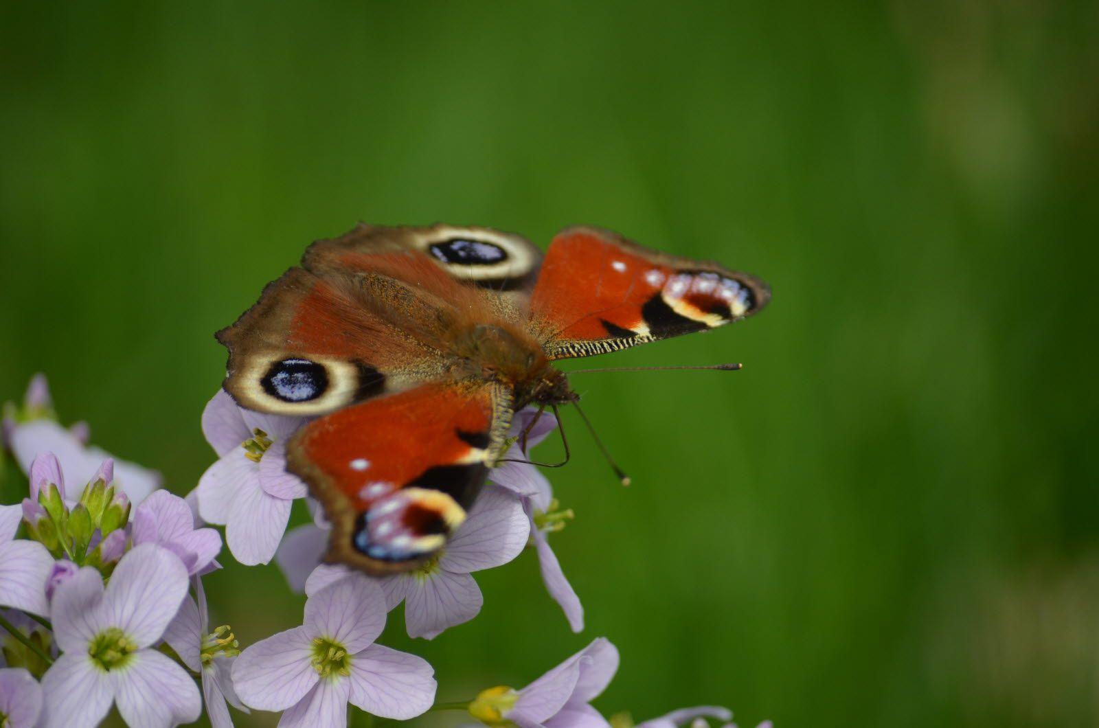 Un papillon Paon du jour sur une cardamine des prés. DR (Cliquez pour agrandir)