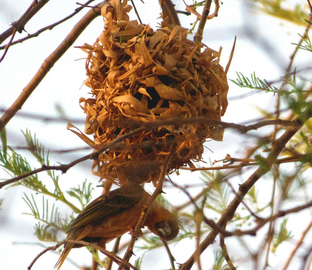 Tisserins et nids