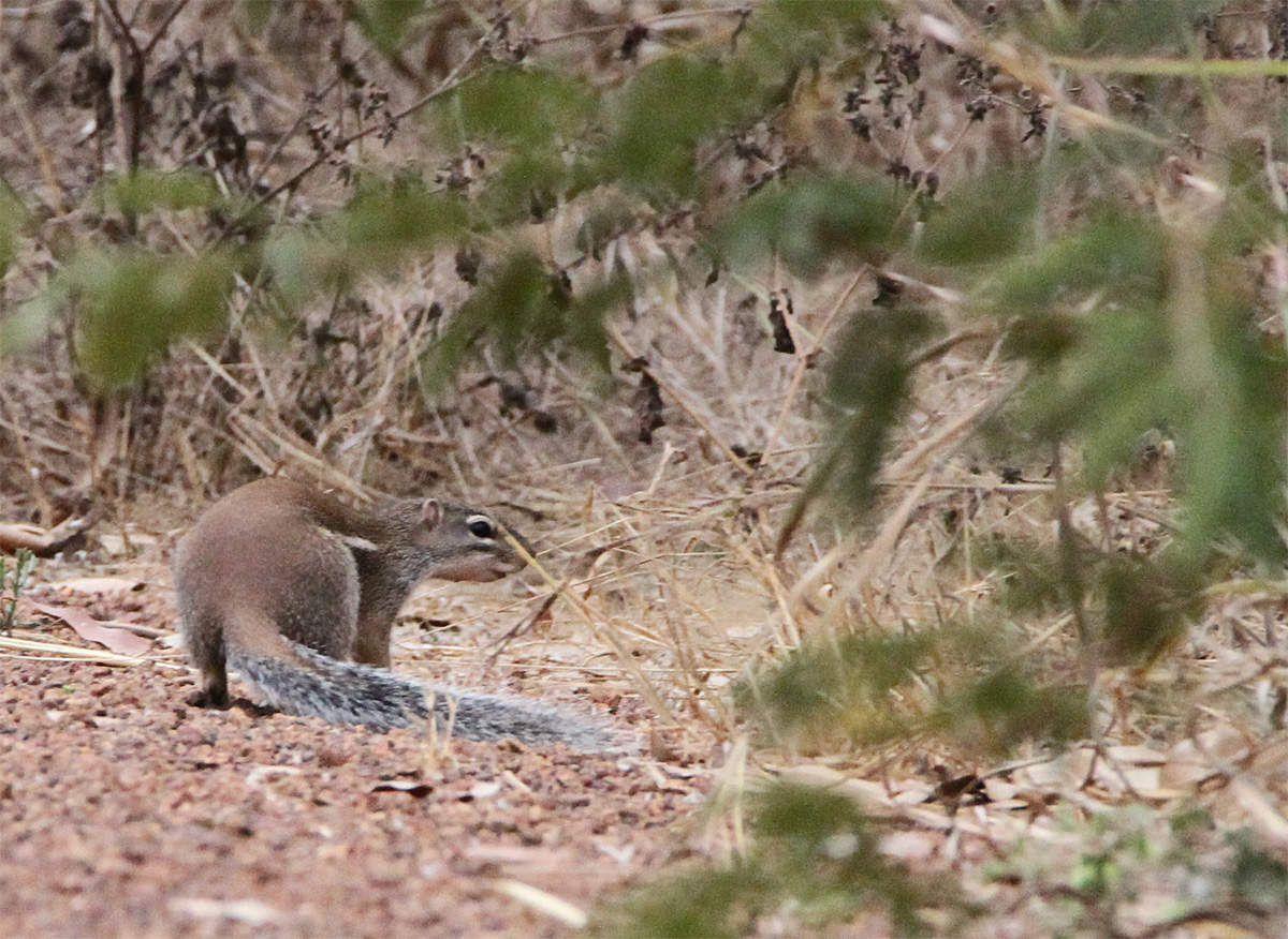 Rat palmiste ou écureil fouisseur. Difficile à approcher en brousse mais devient assez familier si on ne lui fait pas de mal