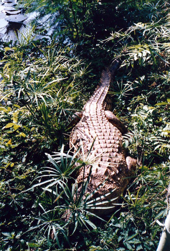 Kisantu - 1987 : Petit spécimen de crocodile du Nil