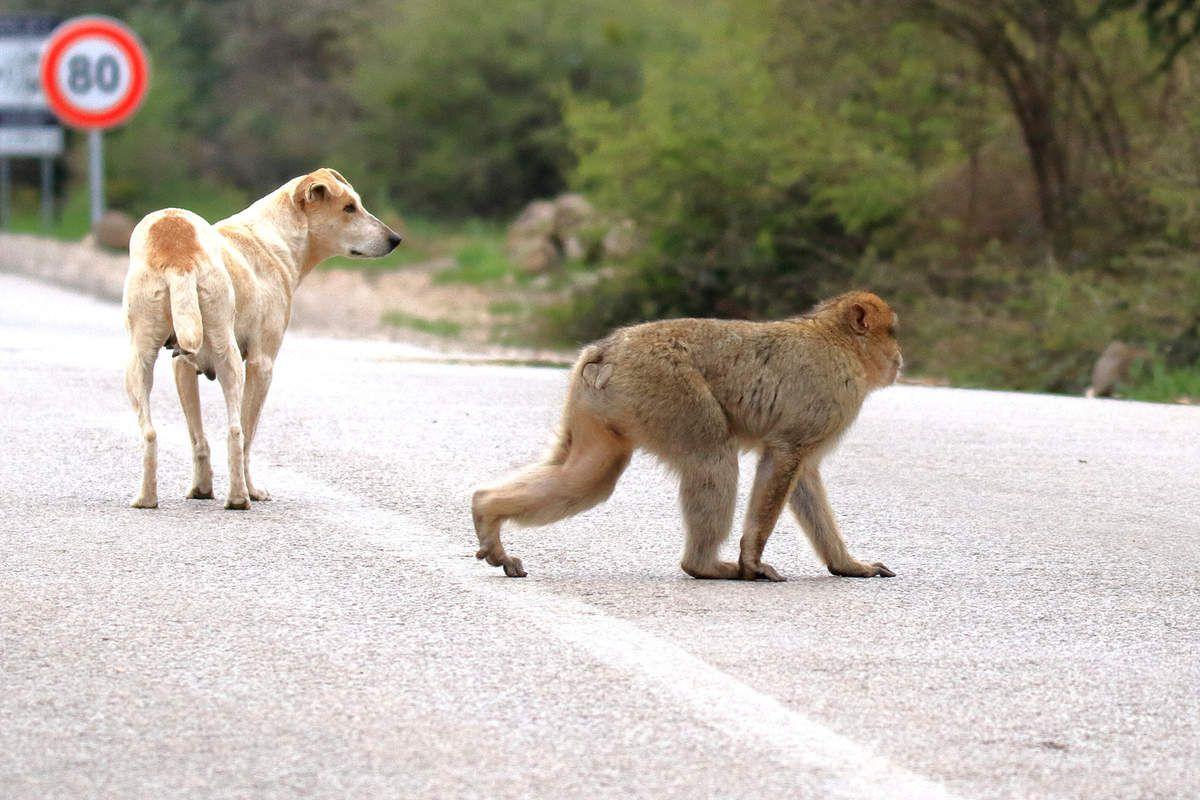 """Singes magot sur la route qui traverse la forêt avant Azrou (Pour d'autres photos de magots voir article """"Les singes"""")"""