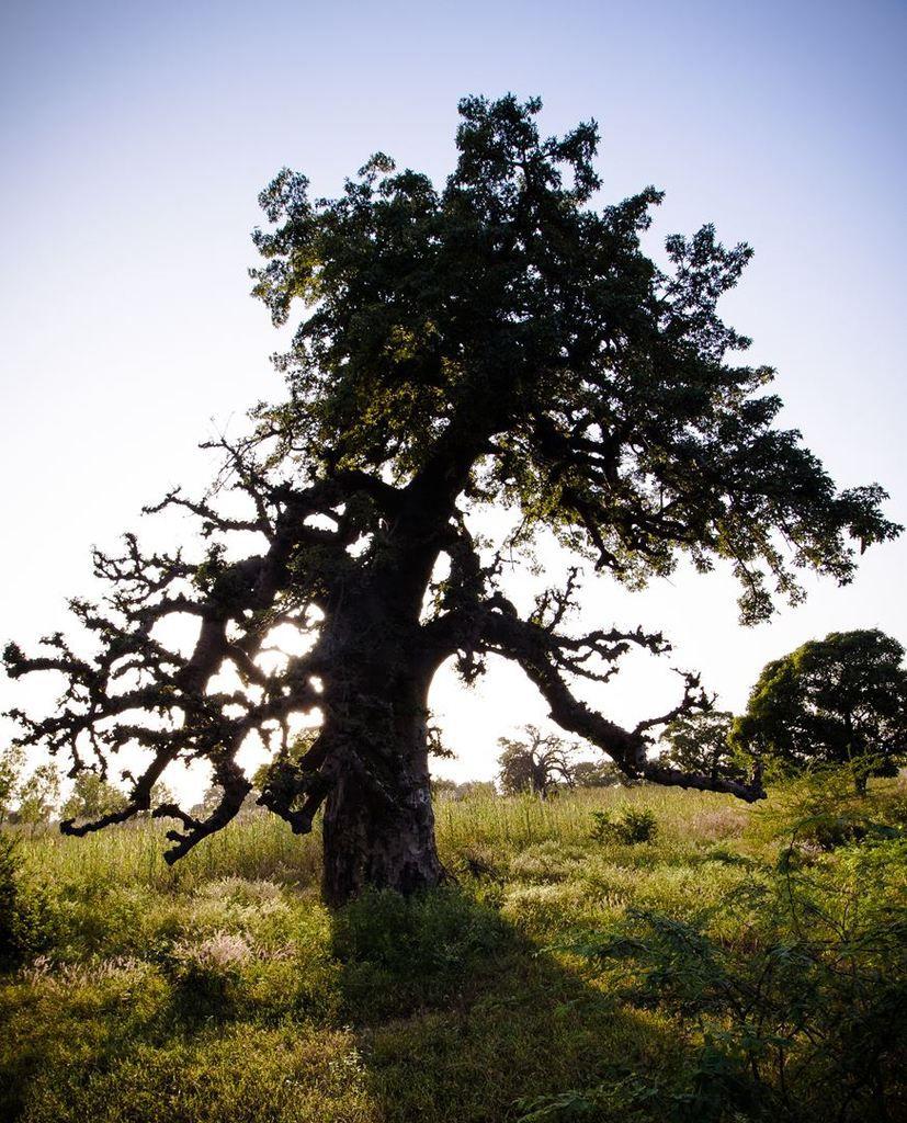 Baobabs - Route de Ouahigouya - Burkina - 2018