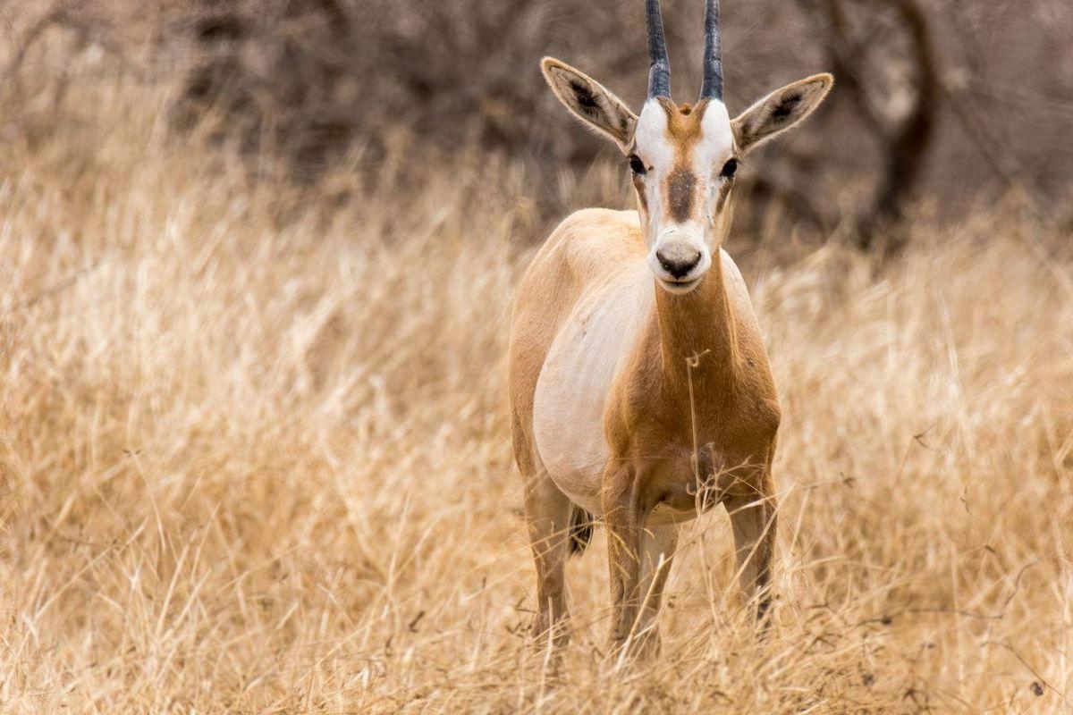 Jeune Oryx