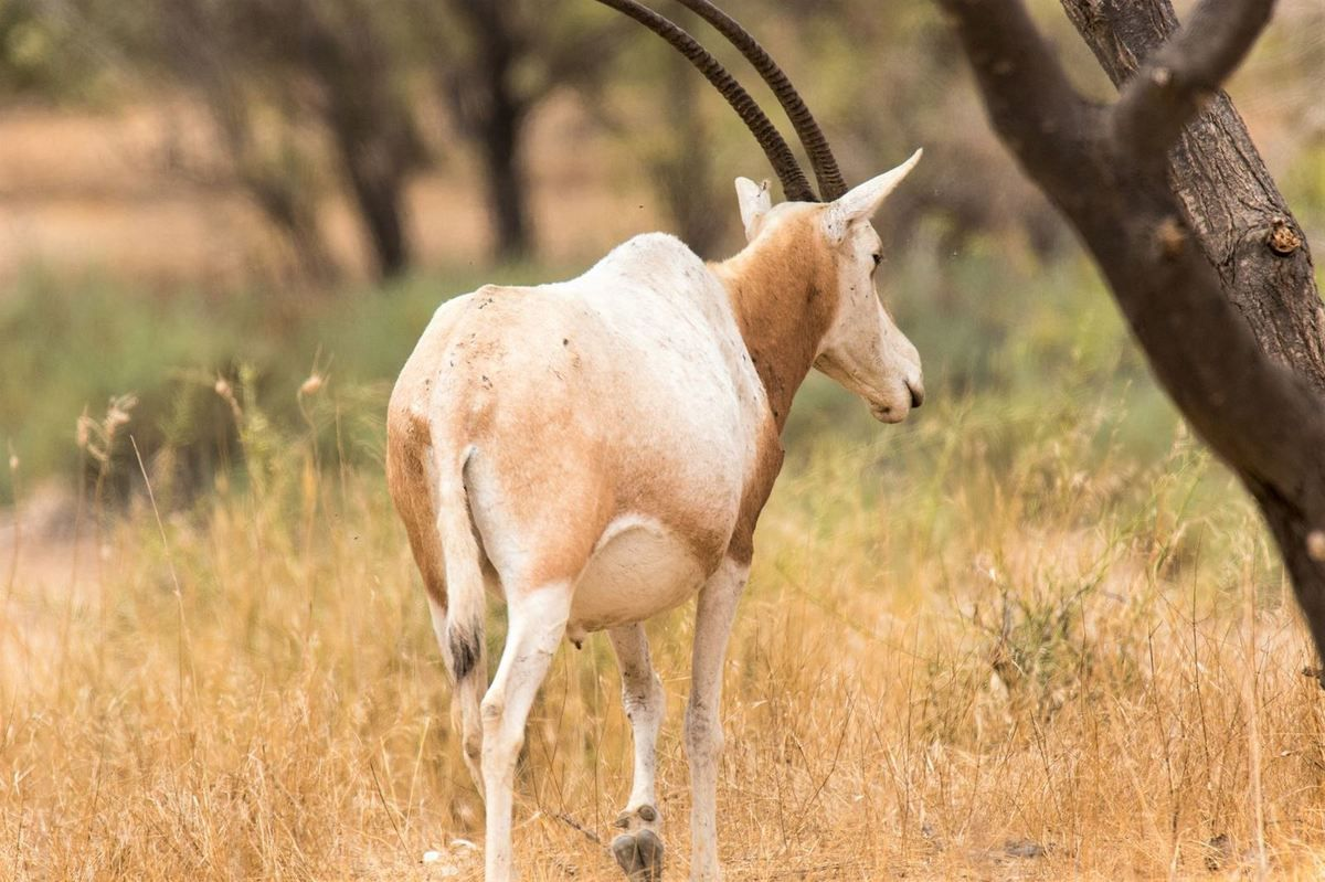 Oryx - Sénégal - 2019