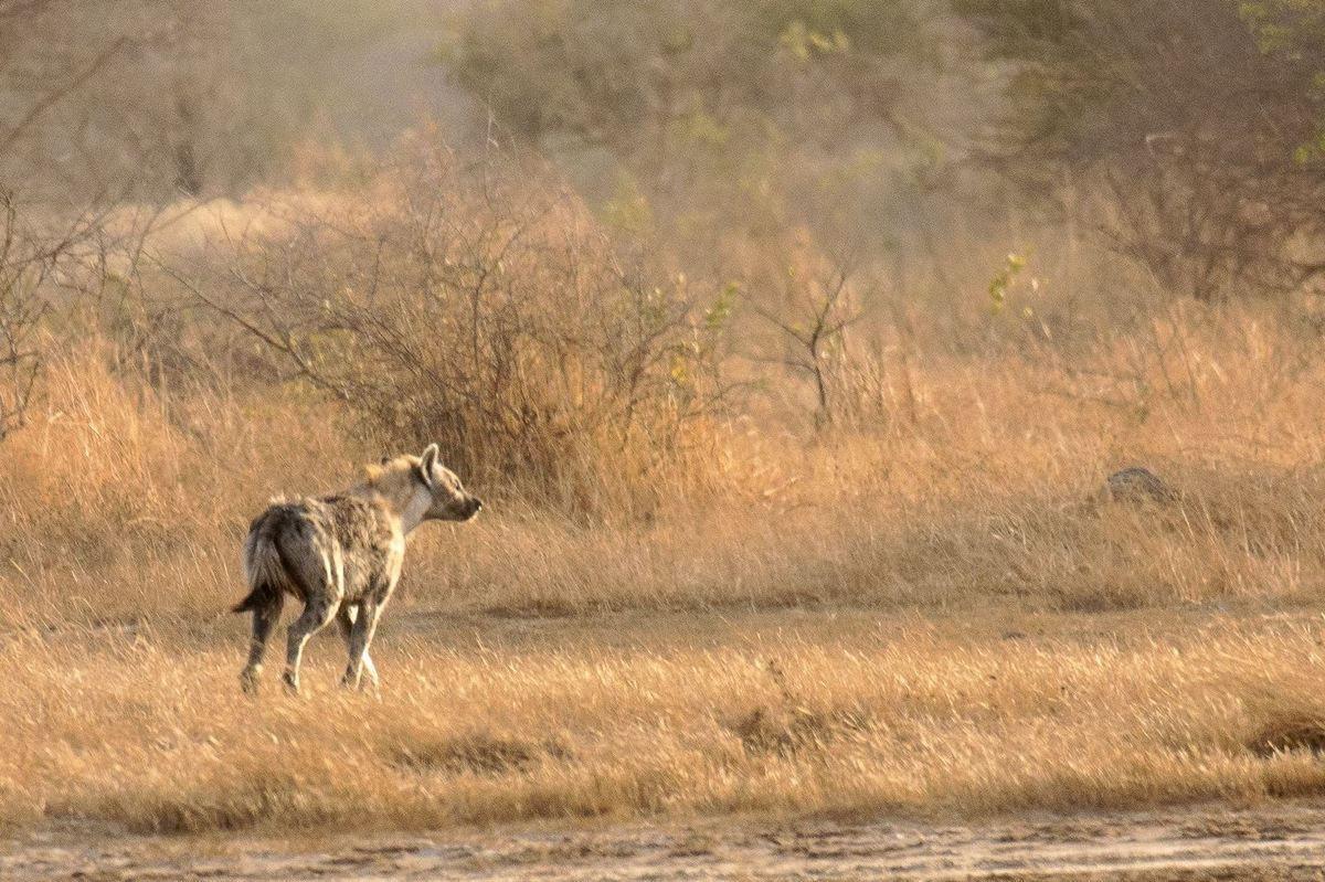 Hyènes - Réseve de Palmarin, juste en face du Djidjack