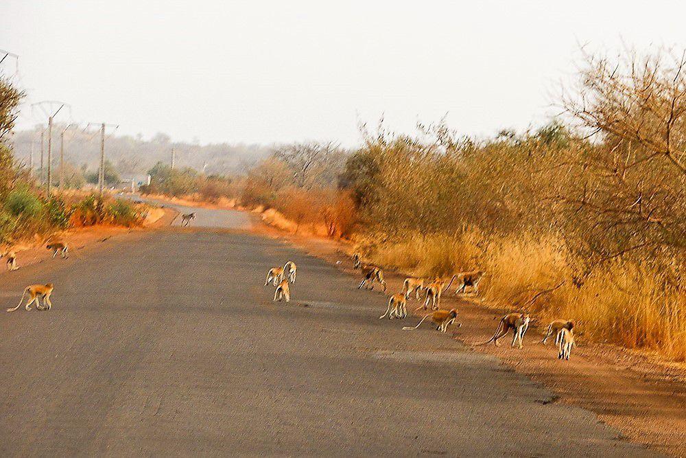 On y rencontre de nombreux animaux sauvages (Singes, Phacochères,...)