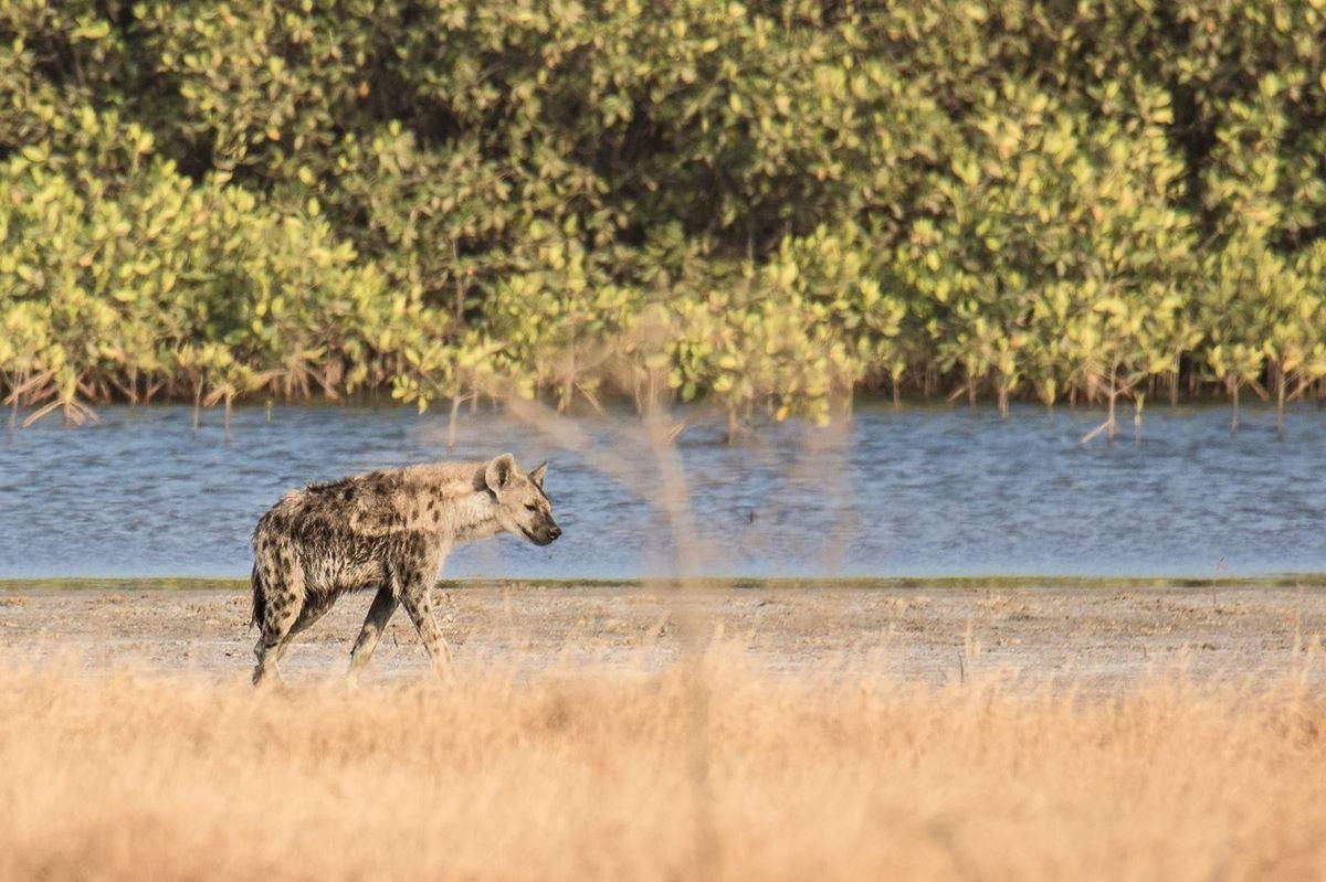 Les Hyénes