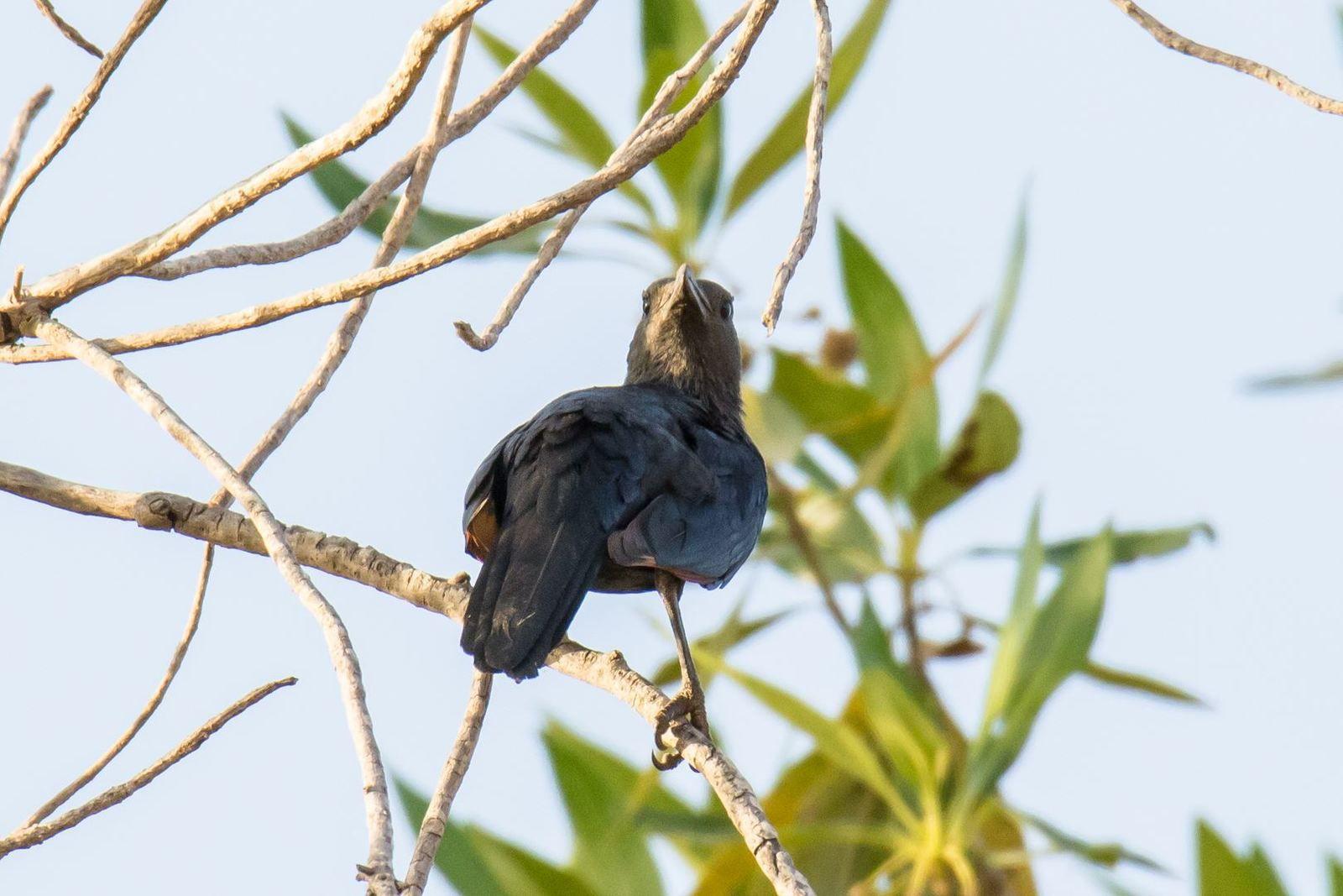 Traquet femelle - Banfora -  Burkina - Sa tête pivote à 180°