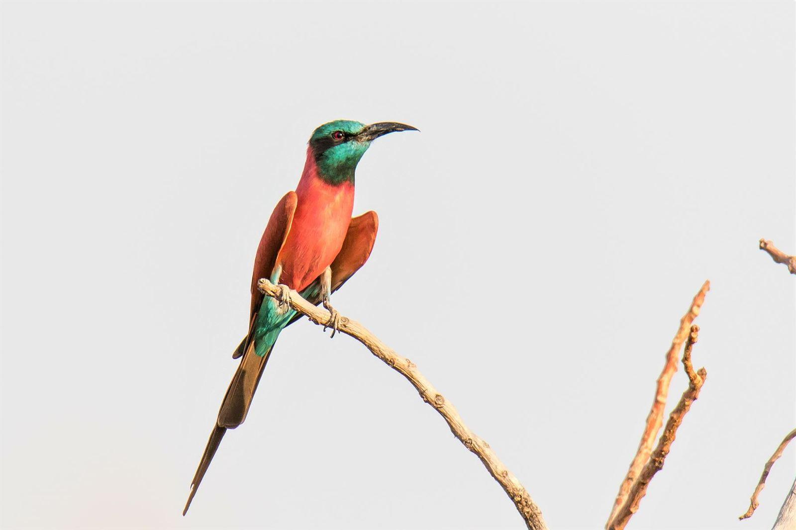 Les oiseaux d'Afrique (4)