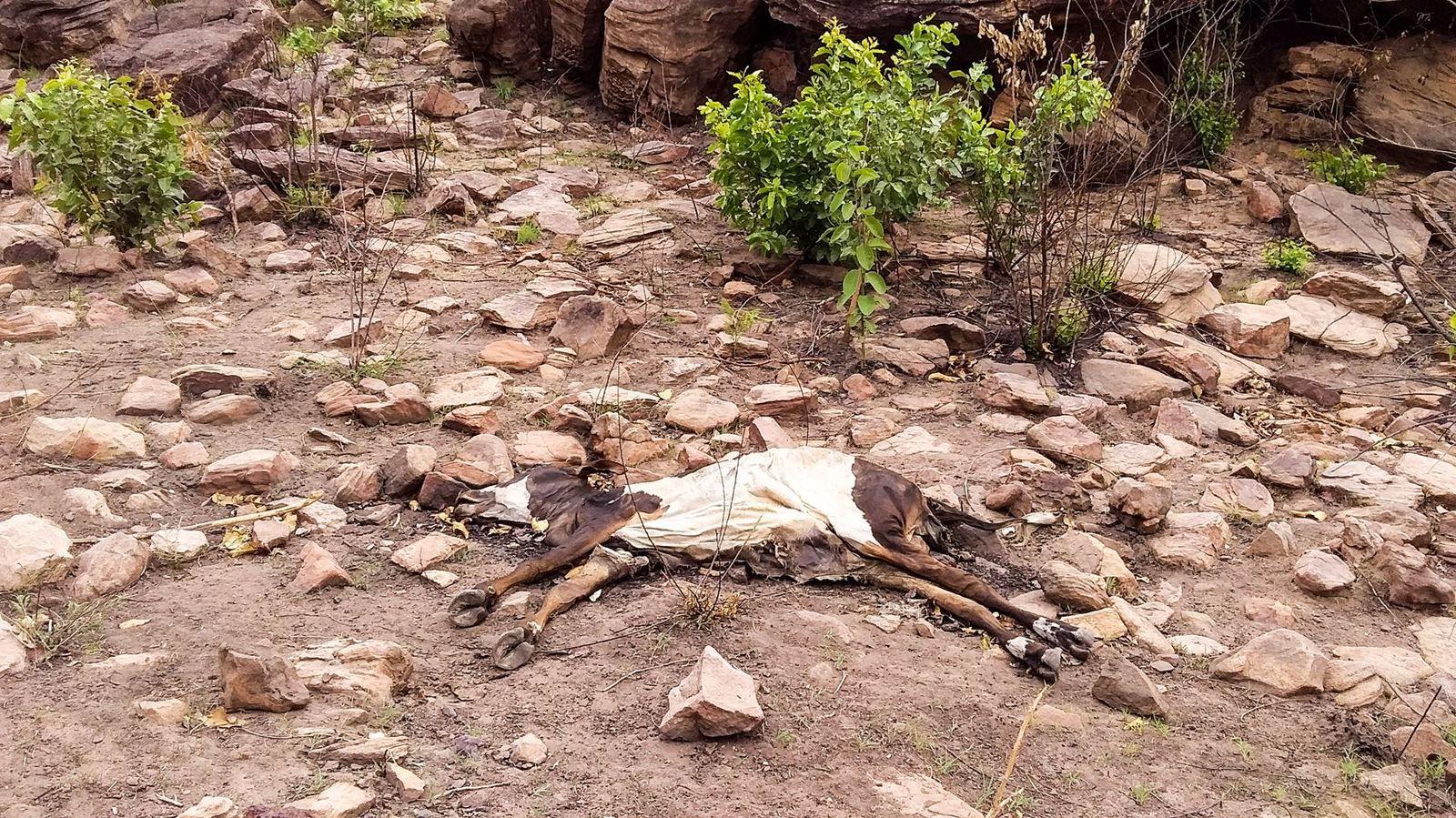 Premier veau : Trouvé en bas de la colline. J'ai alors pensé qu'il avait été victime d'un accident ou d'une morsure de serpent. A noter qu'il est entier et ne semble pas avoir été dévoré par des prédateurs. Le second veau mort a été trouvé à quelques mètres.