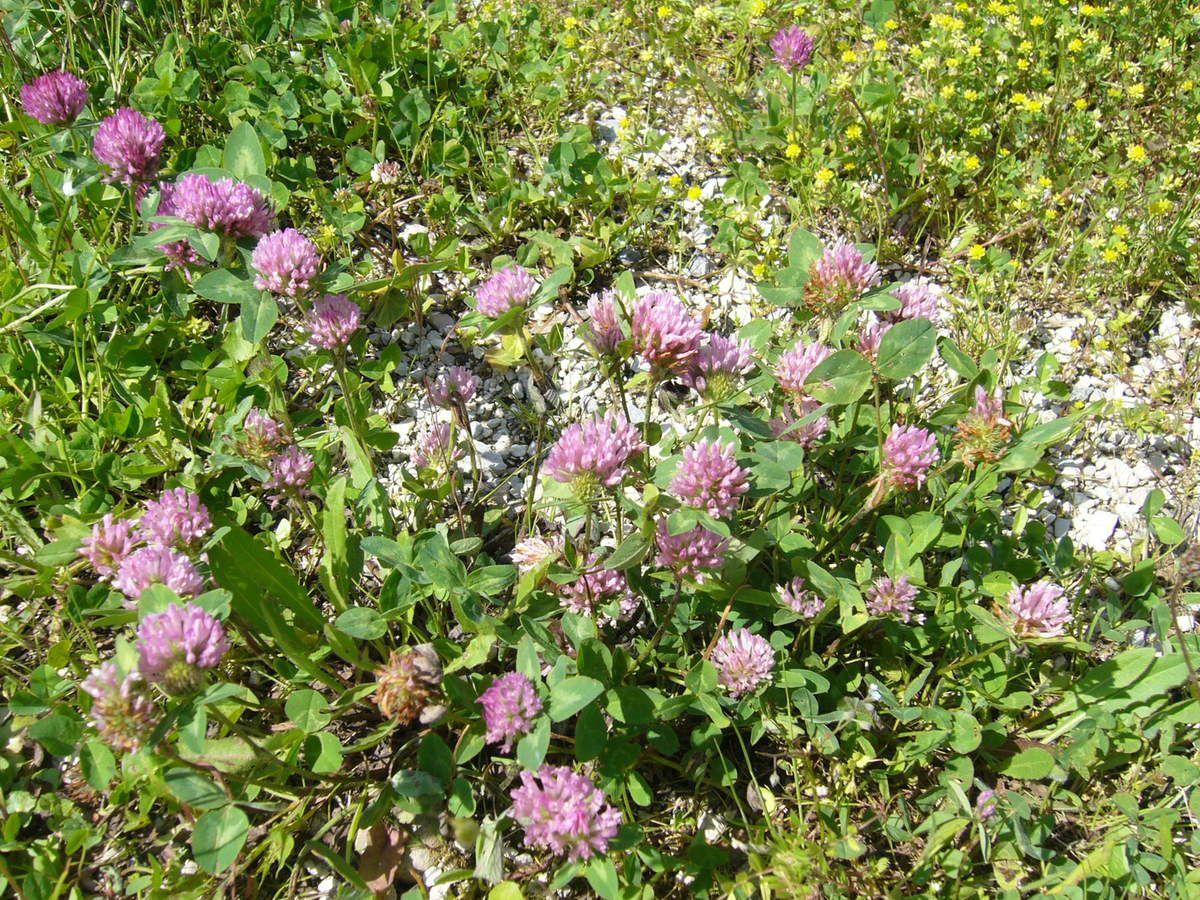 Trèfle des prés, Trifolium pratense