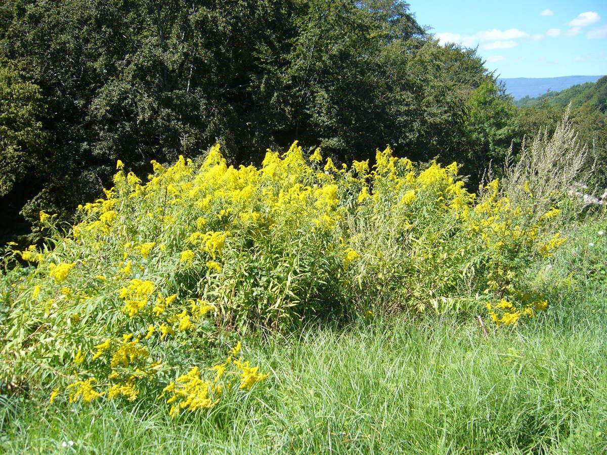 Verge d'or, Solidago canadensis