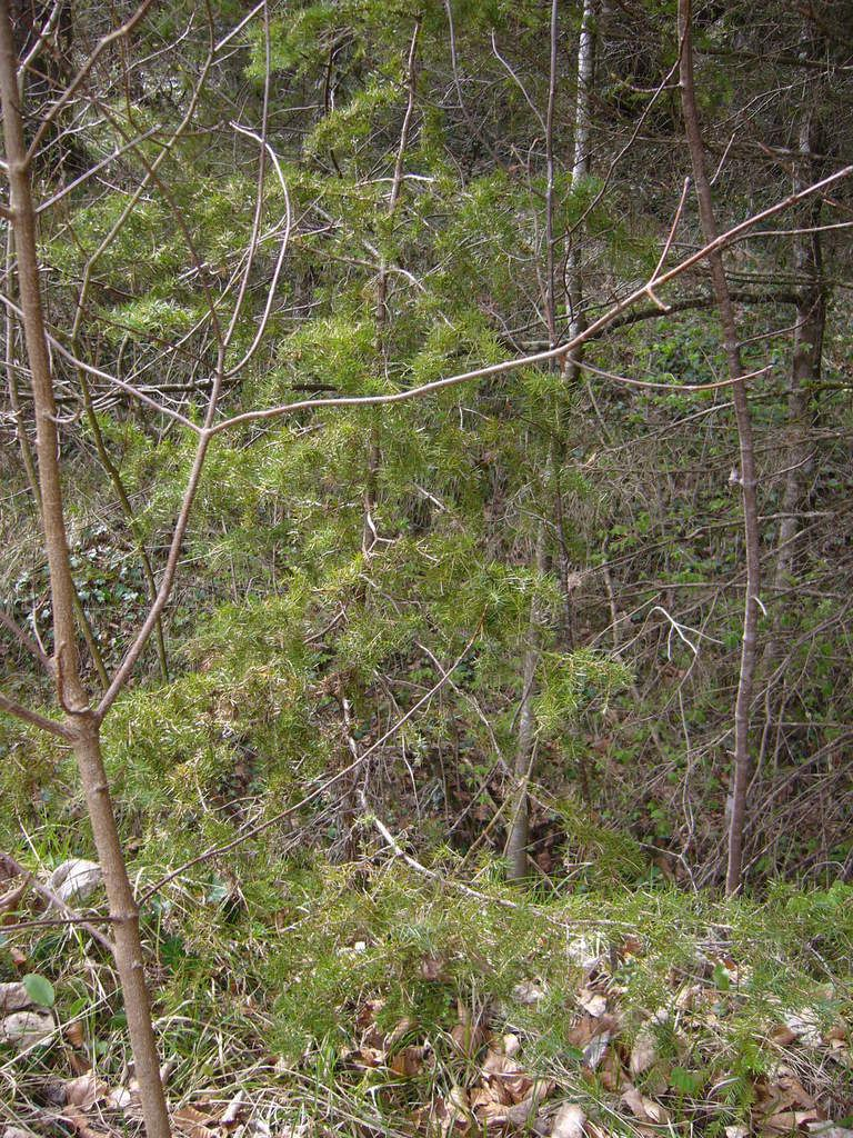 Genèvrier commun, Juniperus communis