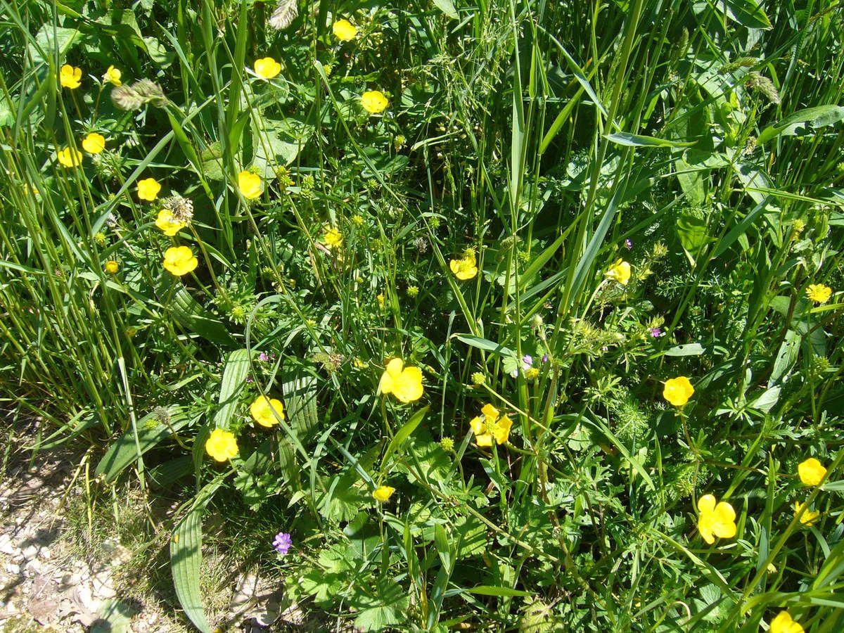 Bouton d'or, Ranunculus acris