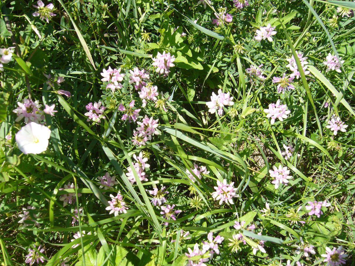 Coronille bigarée, Coronaria varia