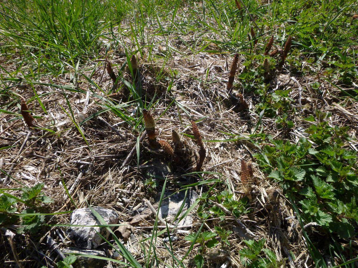 Tige fertile de la Prêle des champs, cet épi produit les spores, puis il meurt et une tige stérile va alors se développer.
