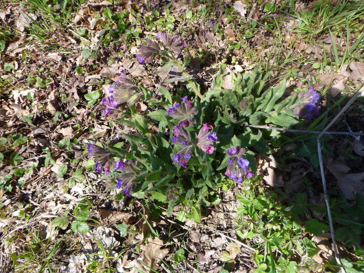 Pulmonaire, ses fleurs d'abord roses deviennent ensuite bleu-violavé, utilisée pour soigner les affections respiratoires.