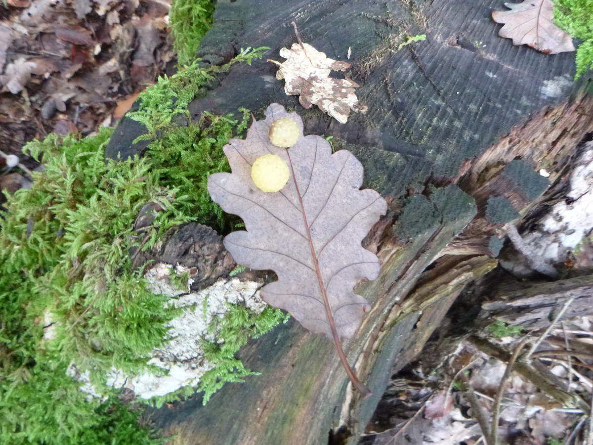 Gale du chêne, à l'intérieur une logette centrale renfermant un petit asticot, une larve...