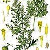 Absinthe commune  (artemisia absinthium)