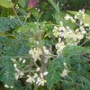 Moringa oleifera   ou brèdes mourongue