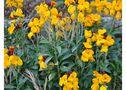 Dans les jardins, sur les murs le jaune orangé