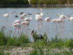 Le Parc ornithologique de Pont de Gau (2) : Le flamant rose / Balade en Camargue