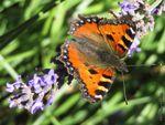 Vanesse de l'ortie ou Petite Tortue, un papillon en voie de disparition dans certaines régions...