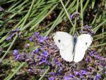 Quelques papillons de Haute-Loire