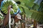 Gvadelupo: La laboristoj de la bananplantejoj ĉesigas sian strikon