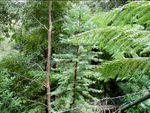 Les derniers arbres dinosaures d'Australie sauvés par les pompiers