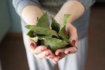 """Santé: """" Les bienfaits insoupçonnés des feuilles de laurier """""""