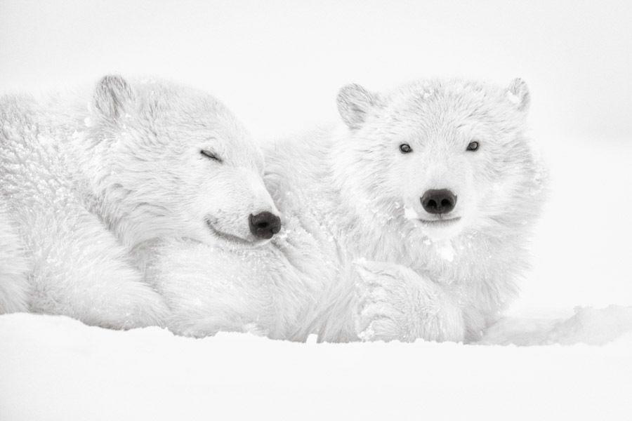 Les animaux polaires par le photographe Kyriakos Kaziras.