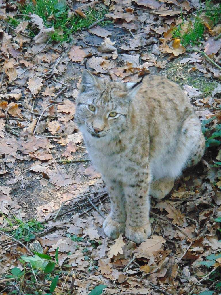 La passerelle aménagée au dessus du domaine des lynx, permet une parfaite observation.