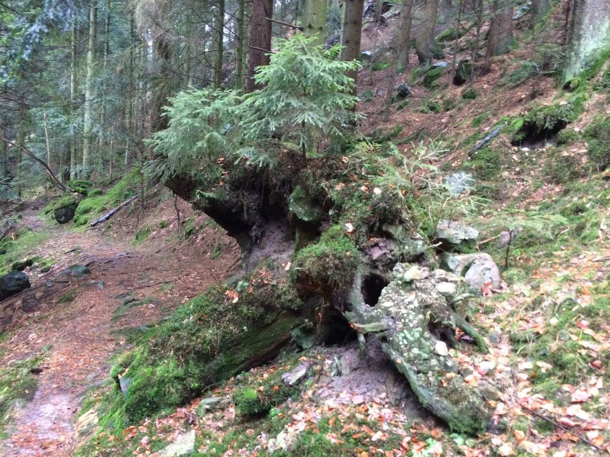 Cette vieille souche m'interpelle à chaque fois que je passe sur ce sentier. Cet arbre, ne sera pas mort pour rien. La Nature fait bien les choses....