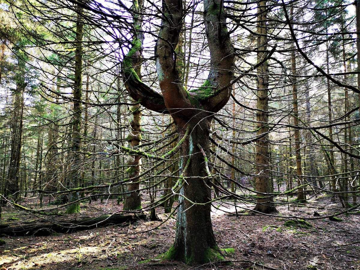 Et des arbres, j'aurai l'occasion d'en rencontrer d'autres, et des remarquables. L'arbre trident!!
