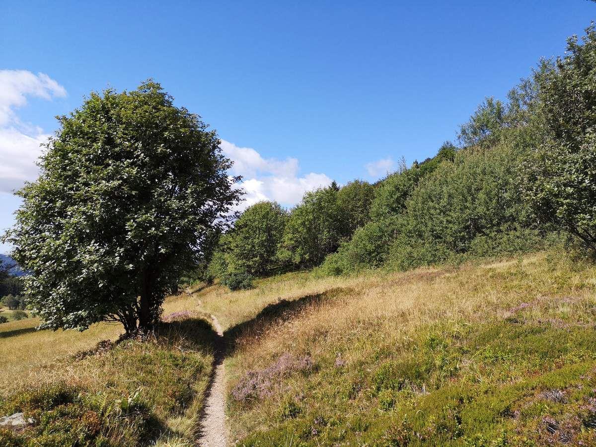 Un agréable sentier au milieu de la bruyère commune et des myrtilliers..