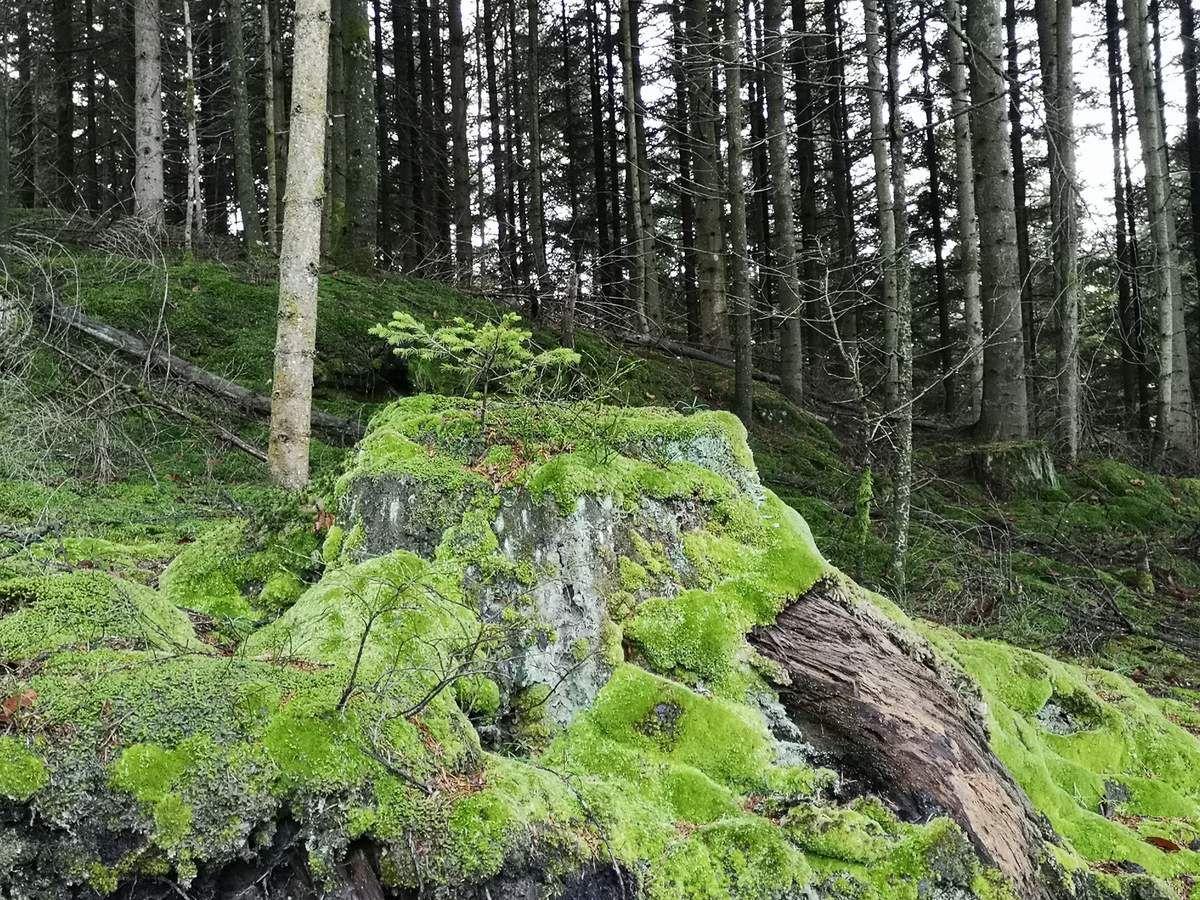 Bel instinct de survie que les arbres ont développé. D'une vieille souche renaîtra un jeune arbre.