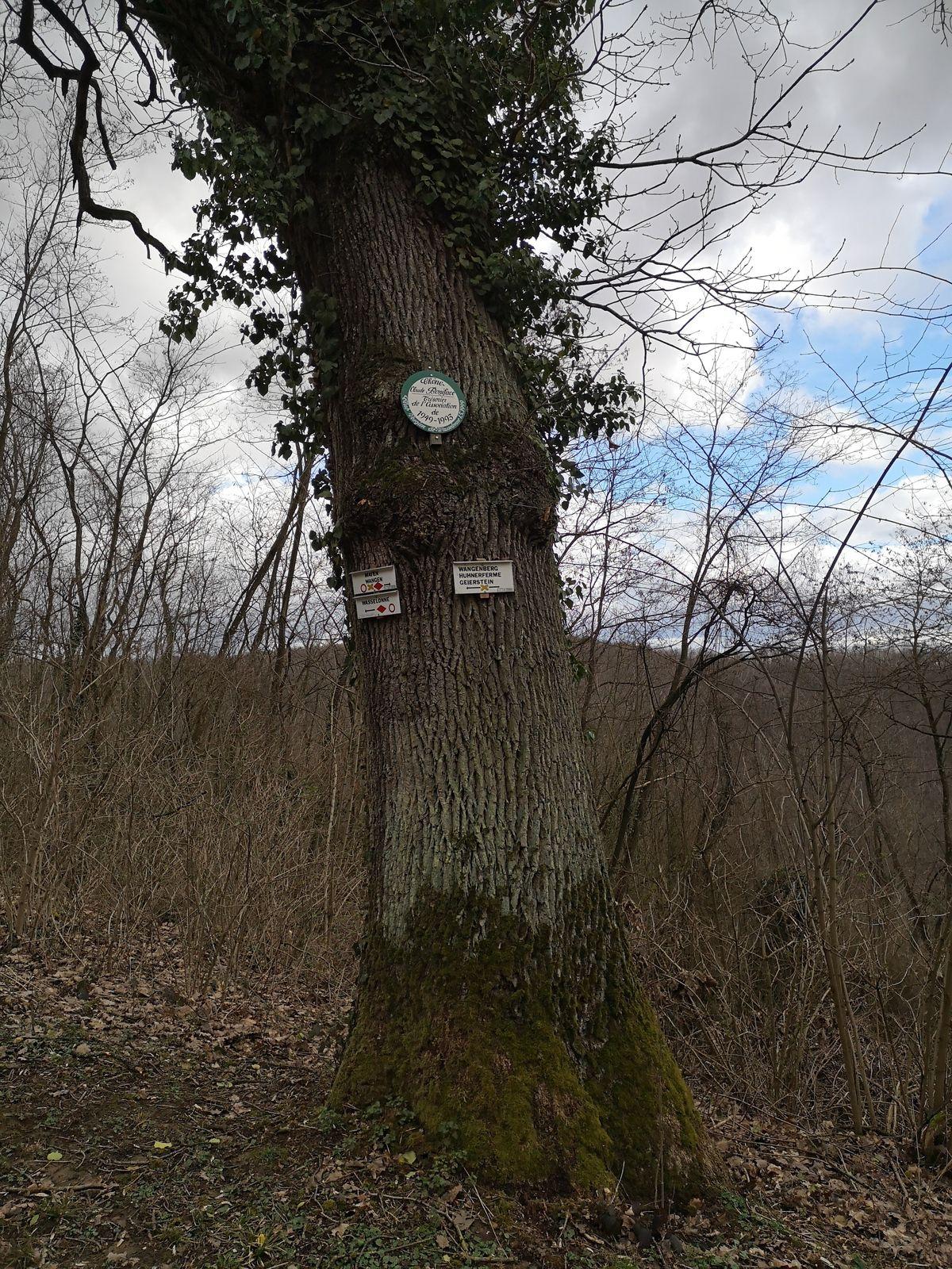 En longeant le Kronthal sur le sentier Stanislas-Kléber, je fis une première découverte. Le chêne Claude Boniface, appelé ainsi, en mémoire du trésorier du club vosgien de Wasselonne de 1949 à 1993.